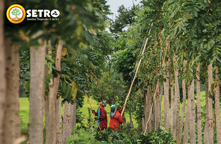 Perfil semillas tropicales s a tree seeds for sale for Investigacion de arboles