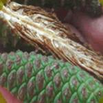 Fruto o cono de maduración de Pinus caribaea vard. hondurensis durante el proceso de evaluación de desarrollo de semillas por cono.